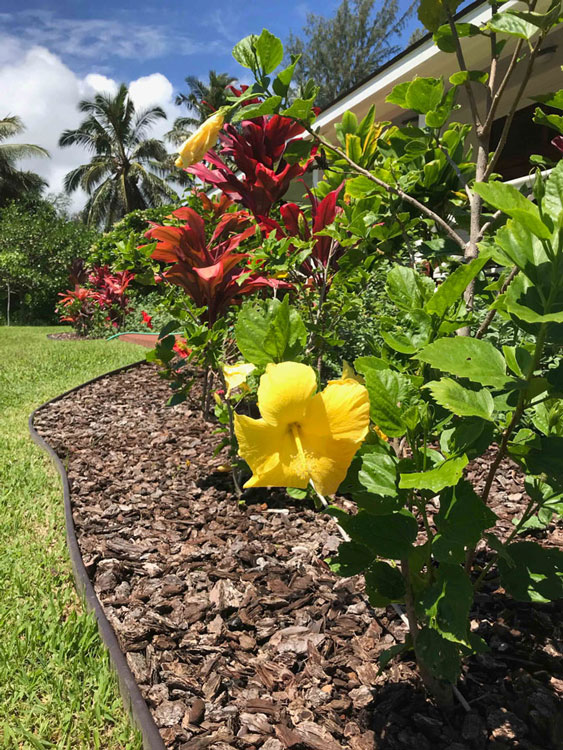 sunny-yellow-hibiscus-in-hawaii_resize